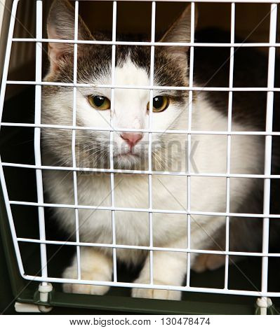 siberian tom cat in plastic carrier close up photo