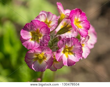 purple and yellow primrose in spring close up