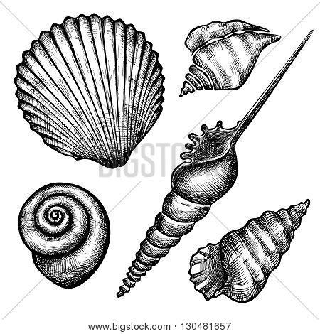 Vintage hand drawn set of various seashells. Isolated on white background. Vector illustration. Engraving illustration