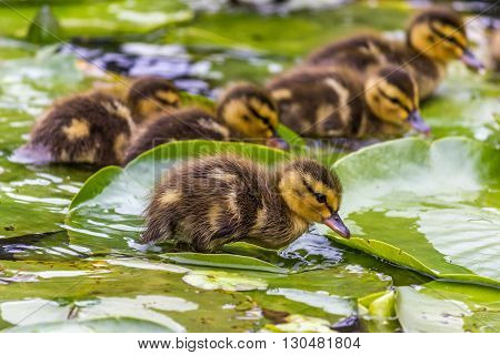 Duckling in a water near lily leaf