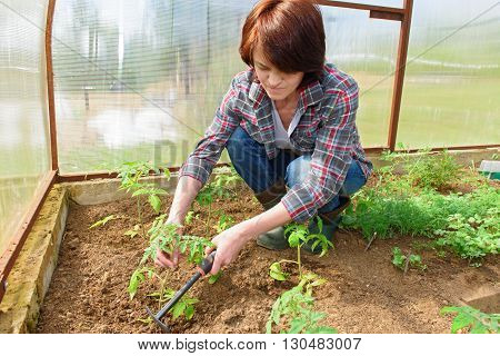 Woman works in the greenhouse grows up young seedling of tomatoes
