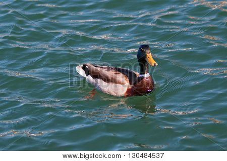 Male Mallard Duck swimming in Alamitos Bay in Long Beach California USA