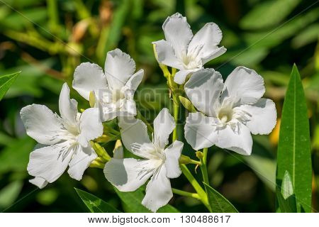 Close-up of the flowers of a white oleander. Rhodes Greece