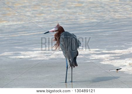 Windblown Mexican Reddish Egret in tidal waters of Chacmuchuk Lagoon at Isla Blanca Cancun Mexico