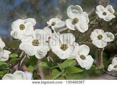 Japanese Dogwood Bush, Cornus Kousa