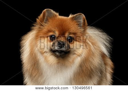 Closeup portrait of Fluffy Red Pomeranian Spitz Dog Looking in Camera isolated on Black Background Front view