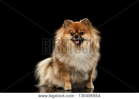 Fluffy Cute Red Pomeranian Spitz Dog Sitting and Looking in Camera isolated on Black Background Front view
