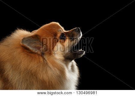 Closeup Portrait of Red Pomeranian Spitz Dog howls isolated on Black Background Profile view