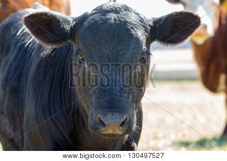 Cow out to pasture on a large Georgia cattle farm