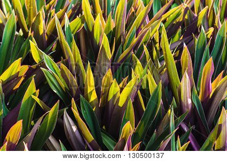 Rhoeo discolor Hance is a herb and ornamental plants. Leaf of it has green and magenta.