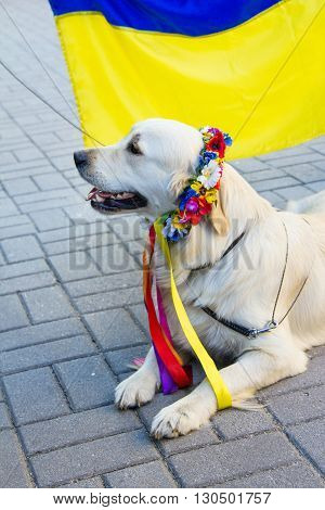 Zaporizhia/Ukraine- May 19, 2016: Labrador dog in traditional Ukrainian flower wreath with colorful ribbons sitting near national Ukrainian yellow and blue flag during  celebration of traditional Ukrainian embroidered clothes, known as vyshyvanka  day