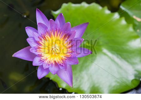 Image Of Water Lily Or A Lotus Flower