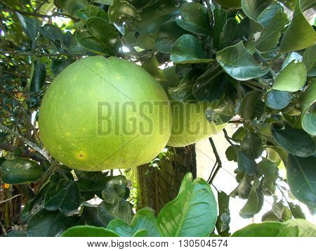 Green pomelo or grapefruit on the pomelo tree on the backyard