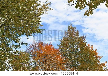 the tops of autumn trees against the sky
