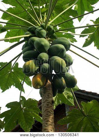 Papaya tree with papaya fruits on it. old and young papaya ready to harvest