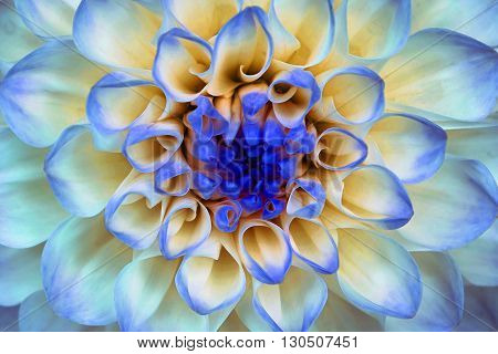 Dahlia flower closeup. Macro. It can be used in website design and printing. Also good for designers. Blue cyan orange.