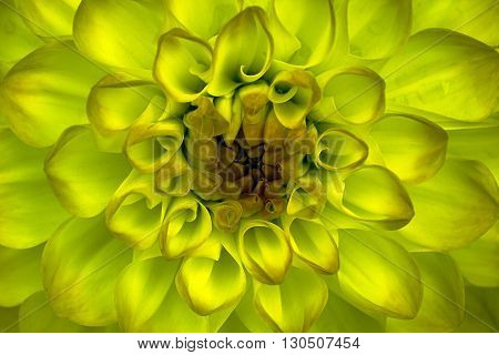 Dahlia flower closeup. Macro. It can be used in website design and printing. Also good for designers. Yellow.