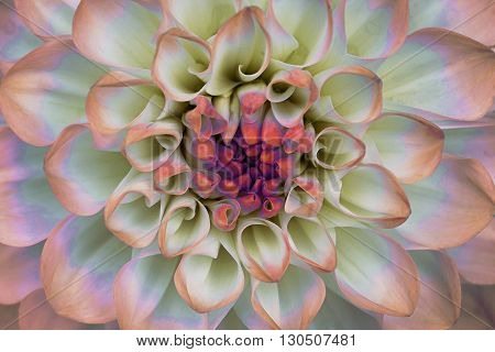 Dahlia flower closeup. Macro. It can be used in website design and printing. Also good for designers. Pink white.