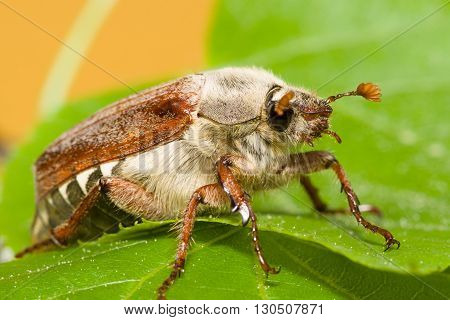 huge chafer climbed on green leaves and takes them