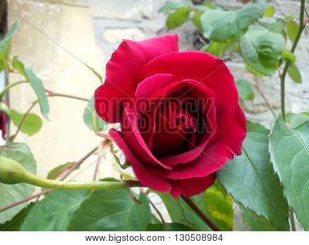 fully open rich red rose with green leaves