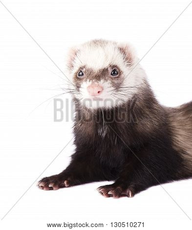 Cute little ferret isolated on white background
