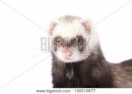 Muzzle of gray ferret isolated on white background