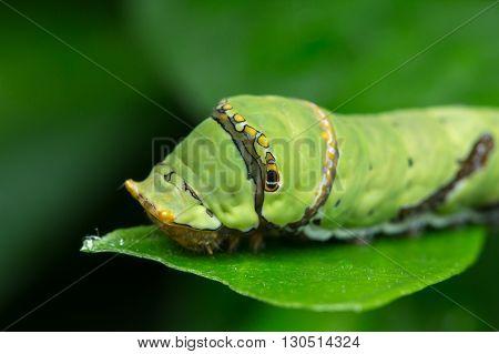 Cute caterpillar , Macro shot of a cute caterpillar