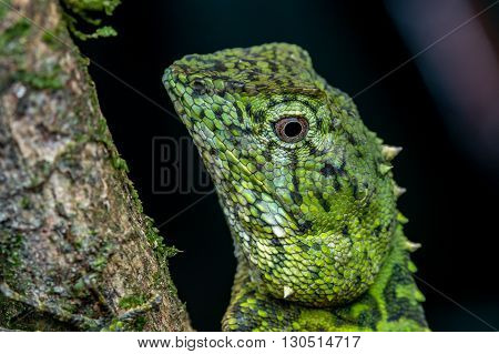 Green Lizard , Close up with a beautiful lizard , Close up view of a cute green Lizard on the wild