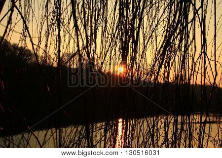 drooping willow on the lake in the afternoon