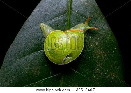 Green Snail , Close-Up Green Snail , Sinistral Snail, Borneo ,