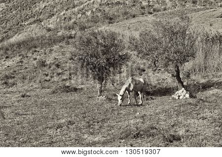 Grazing Horse under Olive Trees on the Sloping Hills of Sicily in Italy Retro Image Filtered Style