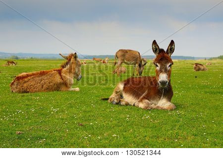Herd of donkeys is resting on floral meadow
