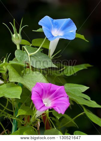 Pink And Blue Morning Glory Flower