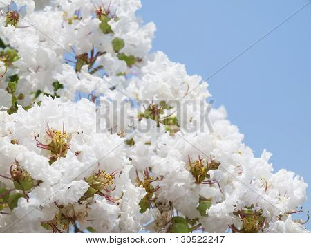 White Lagerstroemia Indica Flower