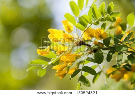 Acacia tree branch with green leaves and yellow flowers. Blooming Caragana Arborescens, Siberian peashrub pea-tree. macro view