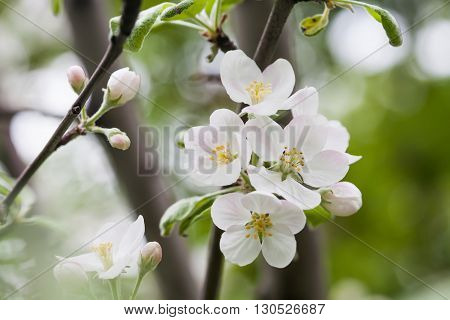 Apple flowers macro view. Blooming fruit tree. pistil, stamen, petal detailed image. Spring nature landscape. Plant in the park