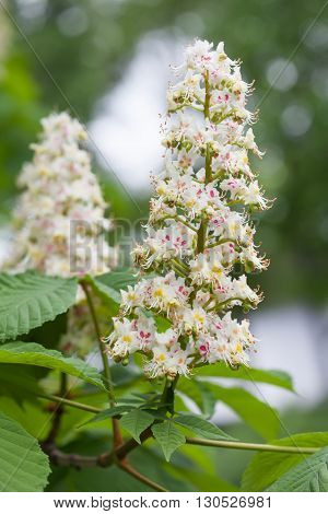 Horse chestnut branch with green leaves and blooming white flowers. macro view. green soft background. New life concept image Plant in the park