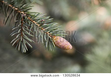Fir tree branch with young conifer cone, needles close-up. Forest nature scene,  shallow depth of field