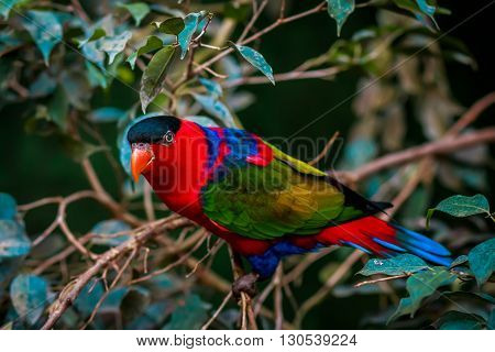 Portrait of A single Tricolor Parrot, Lorius Lory, in natural surroundings