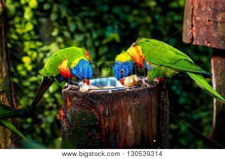 Close up of a Rainbow Lorikeet (Trichoglossus haematodus) sitting on a wooden branch