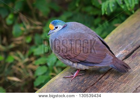 The Sulawesi ground dove (Gallicolumba tristigmata) also known as yellow-breasted ground dove