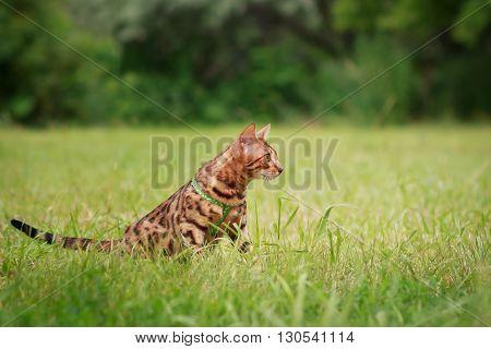 A single bengal cat in natural surroundings