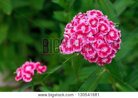 Closeup of a bright pink carnation in a field