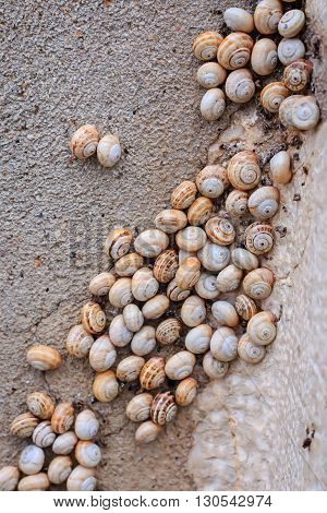 Snail colony (Cornu aspersum) on the wall closeup