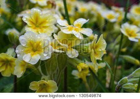 Flowering primrose, primrose in the garden closeup