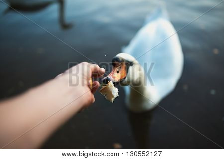 POV of feeding swan on the lake pond reaver. Toned image. Point of view shot.