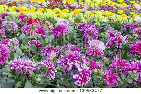 Dahlia pink and other colors flowers in garden