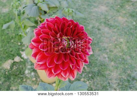 Single dark red dahlia flower in park and green environment.