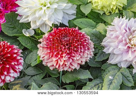 Red yellow and white dahlias with green leaves.