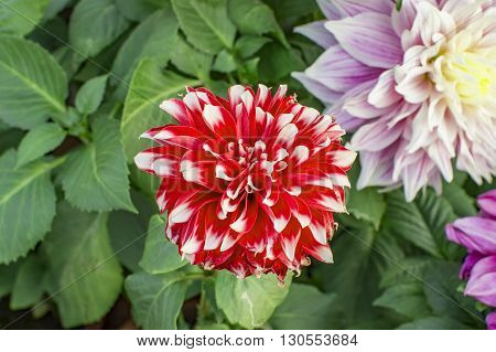 Red Dahlia Flower On The Plant And Branch
